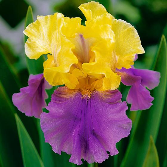 Iris Edith Woolford, im ca. 11 cm-Topf