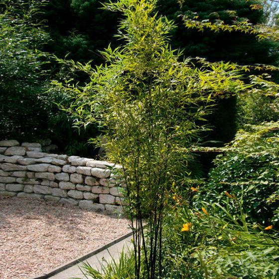Schwarzer Bambus, im 5-Liter-Topf
