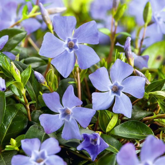 Immergrün, violett-blau, im ca. 9 cm-Topf