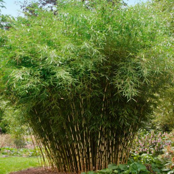 Zebra-Bambus Campbell