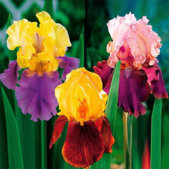 Stauden-Sortiment Regenbogen-Iris