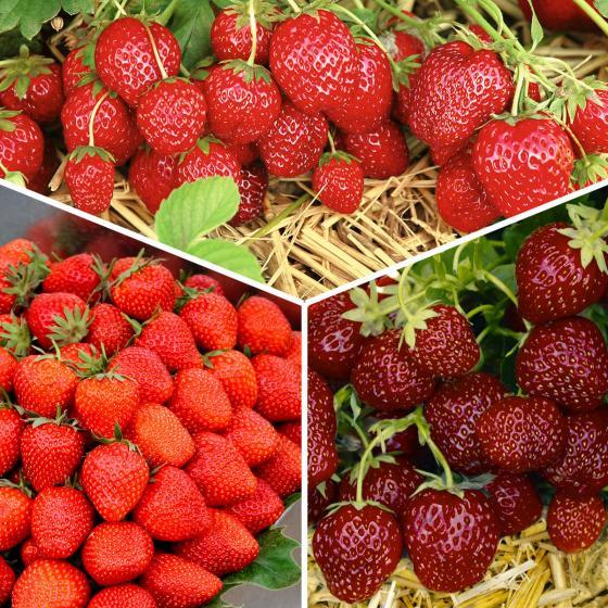 Erdbeerpflanzen-Sortiment Gärtner Pötschkes Köstliche Sorten, getopft