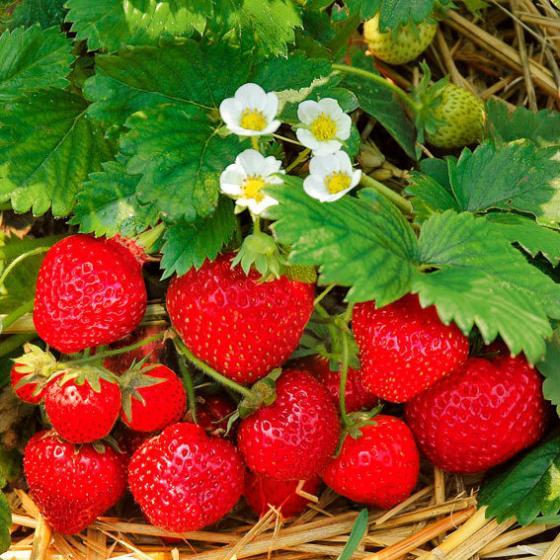 Erdbeerpflanze Jubilee, getopft, im ca. 9 cm-Topf