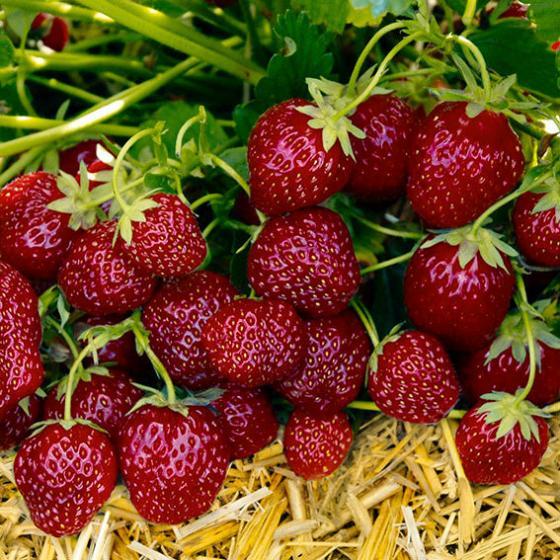 Erdbeerpflanze Gärtner Pötschkes Aroma-Erdbeere, getopft
