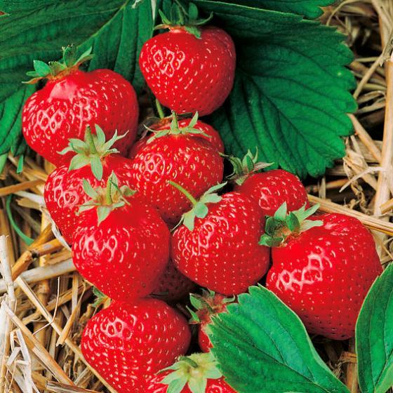 Erdbeere Gärtner Pötschkes Früheste, ungetopft