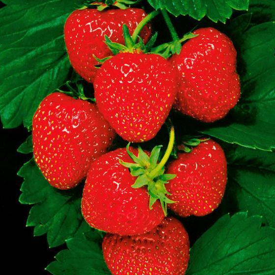 Erdbeere Senga®-Sengana®, Pflanzware 10er Tray, im ca. 6 cm-Topfballen