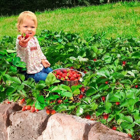 Gärtner Pötschkes Erdbeer-Naschwiese, getopft
