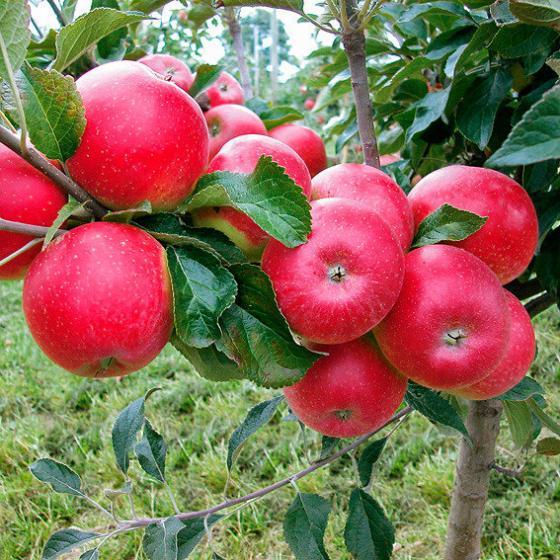 Zwerg-Apfel Croquella
