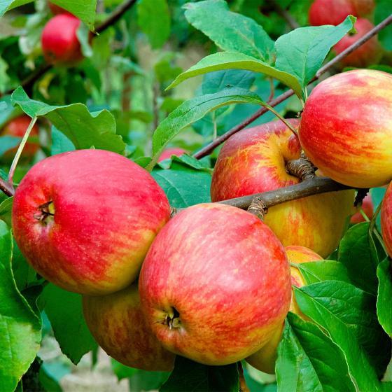Apfel Schöner von Herrnhut