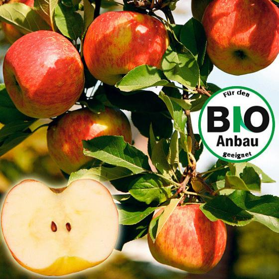 Apfel Topaz(S), Basic