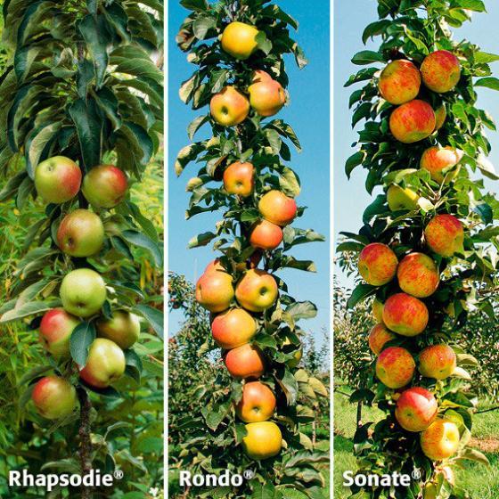 Obst-Sortiment Klassik-Säulenäpfel