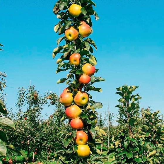 Säulen-Apfel Rondo®