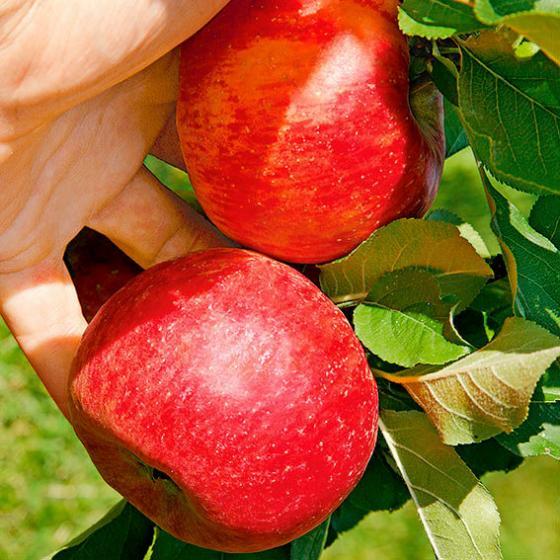 Apfel Roter Topaz