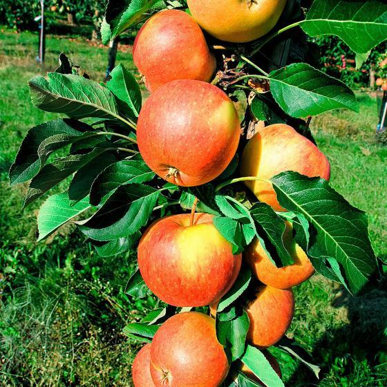 Säulen-Apfel Super Compact James Grieve®