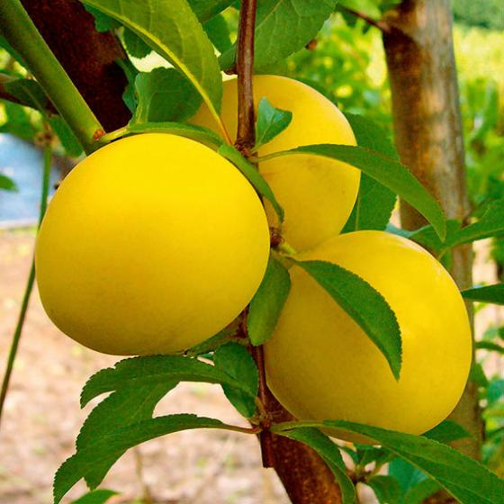 Gärtner Pötschkes Melonen-Pflaume