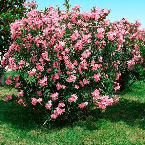 lachsrosafarbener oleander xl qualit t online kaufen bei g rtner p tschke. Black Bedroom Furniture Sets. Home Design Ideas