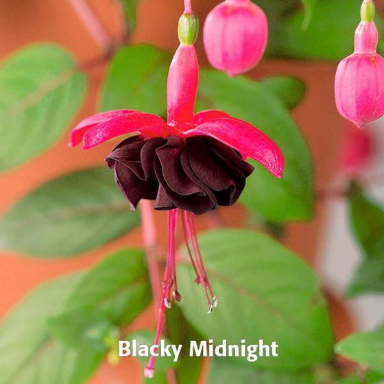 Sommerblumen-Sortiment Giant-Fuchsien, 6 Stück