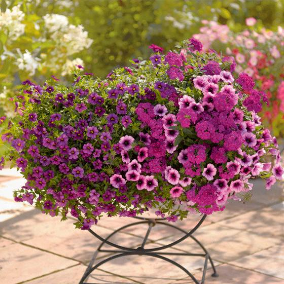 Вербена в сочетании с другими цветами