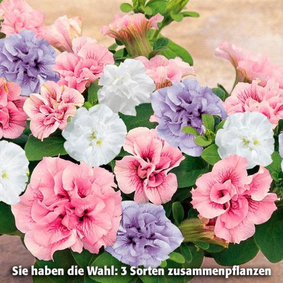 Sortiment Rosen-Petunien, 6 Pflanzen