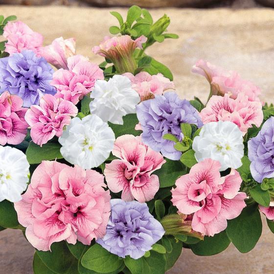 Sommerblumen-Sortiment Rosen-Petunien