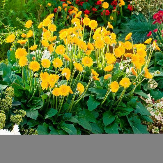balkon gerbera garvinea sweet smile gelb online kaufen bei g rtner p tschke. Black Bedroom Furniture Sets. Home Design Ideas