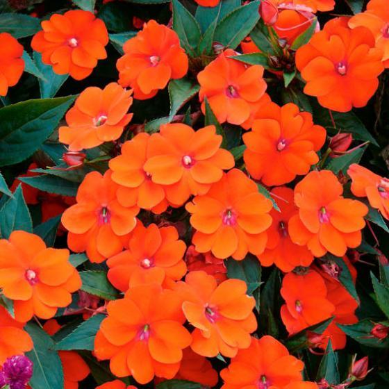 Fleißiges Lieschen Sunpatiens® Compact Orange