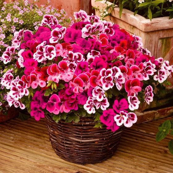 Wunder-Geranie Candy Flowers®