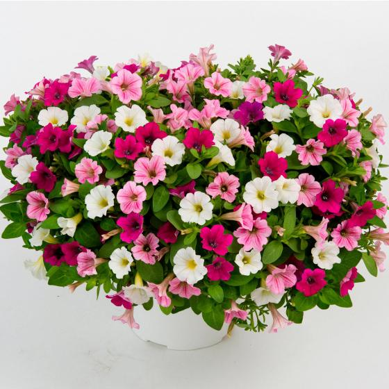 Petunie Littletunia® Cotton Candy Delight