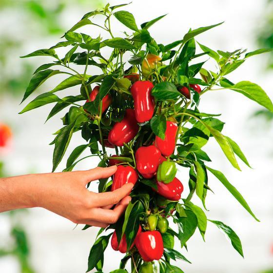 Paprikapflanze Vitarossa F1