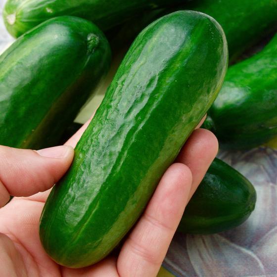 Gemüse-Pflanze Gurke Iznik F1
