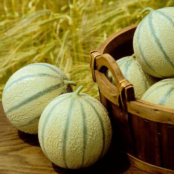 Gemüse-Pflanze Zuckermelone Stellio F1 (veredelt)