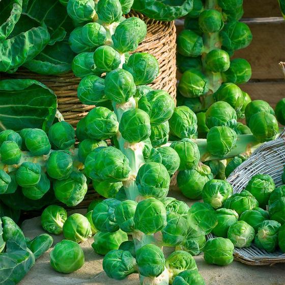 Gemüse-Pflanze Rosenkohl Brigitte F1