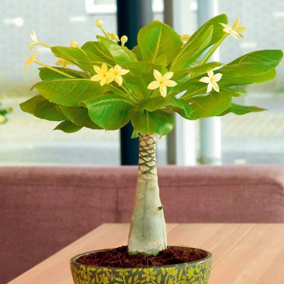 hawaii palme online kaufen bei g rtner p tschke. Black Bedroom Furniture Sets. Home Design Ideas