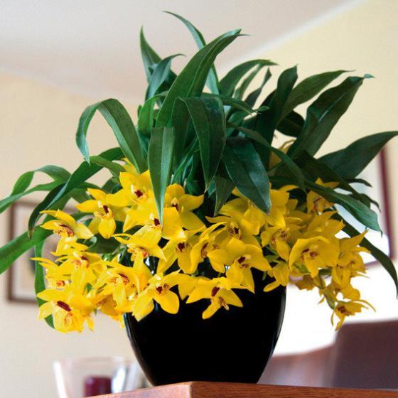 Kissen-Orchidee Sunlight