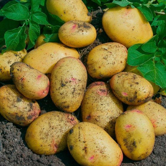 Kartoffel Quarta, 2,5 kg