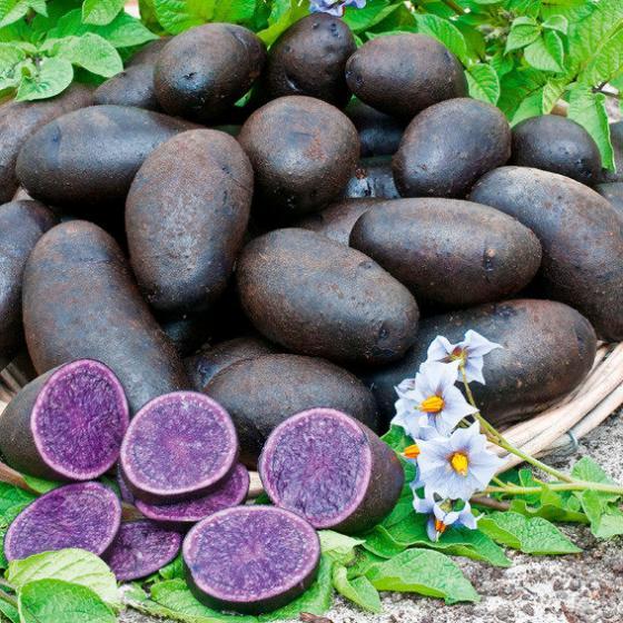 Kartoffel Blaue St. Galler, 1 kg
