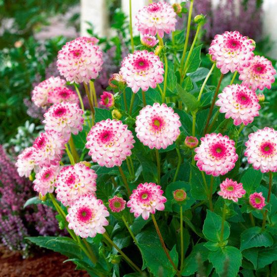 Dahlietta-Topf-Dahlie Pink Isa