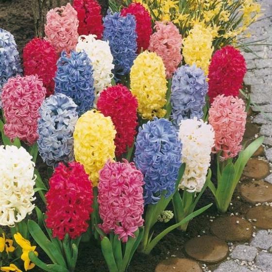 Blumenzwiebel-Sortiment Garten- und Topfhyazinthen