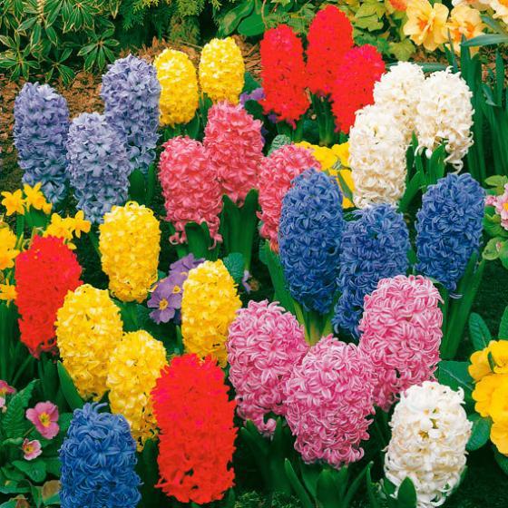 Blumenzwiebel-Sortiment Garten- und Topfhyazinthen in Extragröße