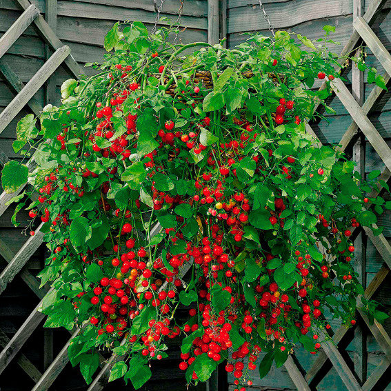 Tomatensamen Micro Cherry