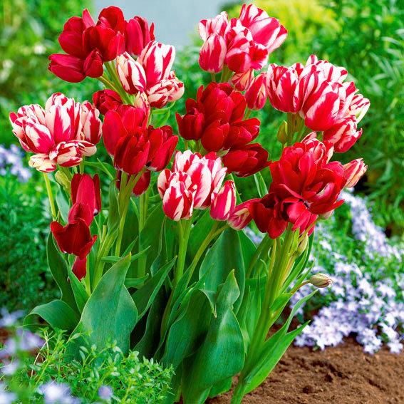 Tulpen-Club-Mischung, mehrblütig
