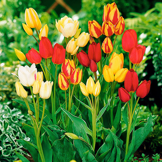 Bunte Tulpen-Mischung, mehrblütig