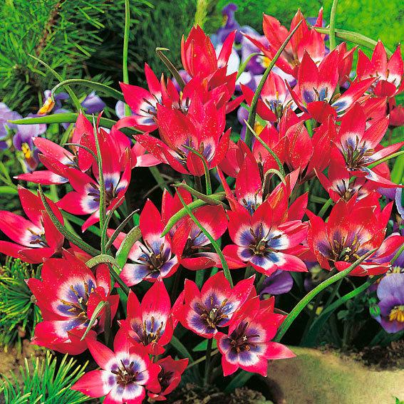 Tulpe humilis Little Beauty