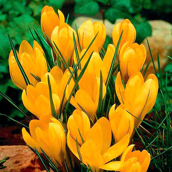 Großer Gelber Frühlingskrokus