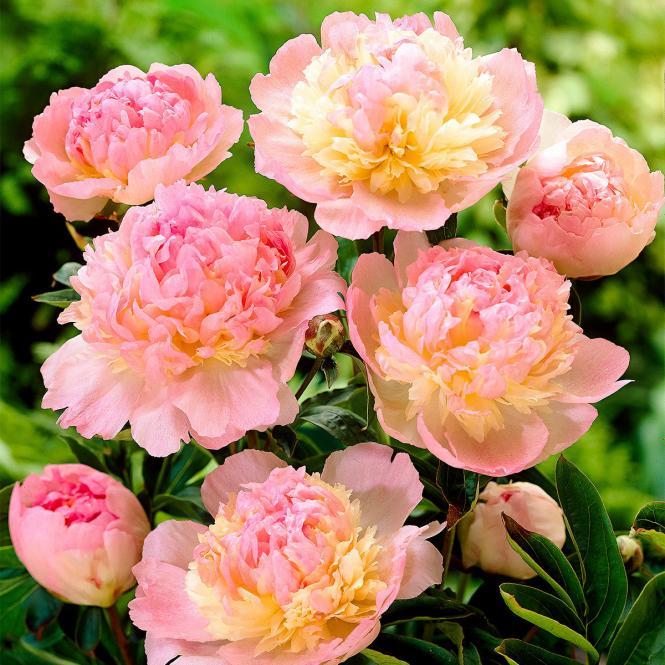 Pfingstrose 'Raspberry Sundae'  Paeonia lactiflora