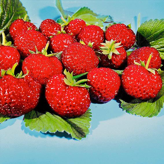 Erdbeerpflanzen Mieze Schindler, Pflanzware 10er Tray
