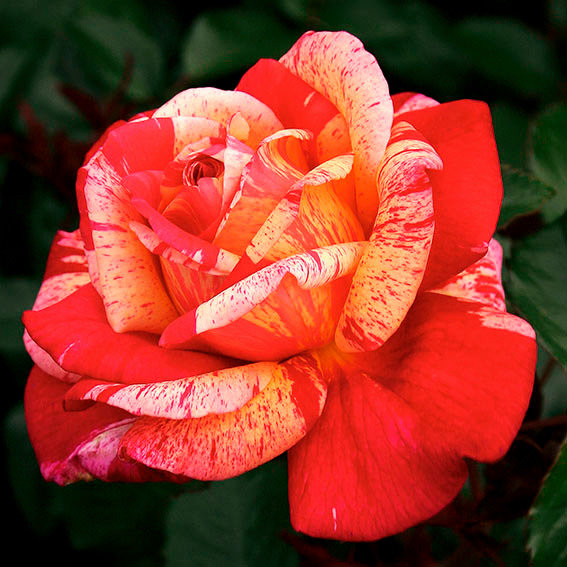 Rose Broceliande ®, im 5,5-Liter-Topf