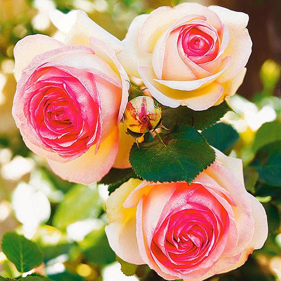 Rose Eden Rose®, im 5,5-Liter-Topf