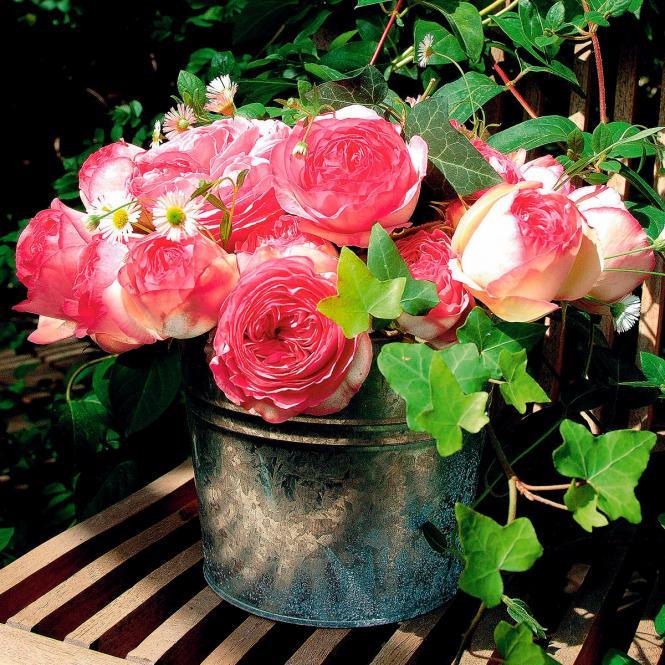 Strauchrose Eden Rose®, XL-Qualität