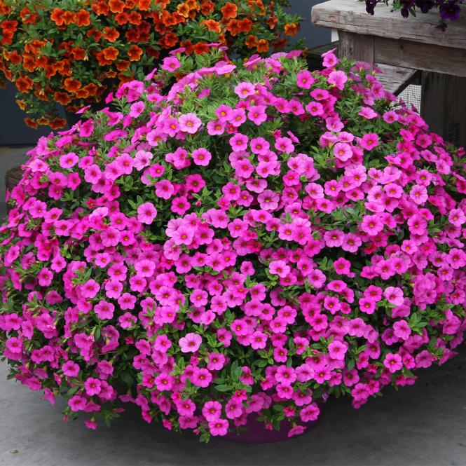 Calibrachoa-Petuniensamen Kabloom Deep Pink F1, Pillensaat